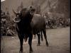 bull_festival10_4_18001