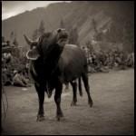 Bull_Festival10_4_18001_1
